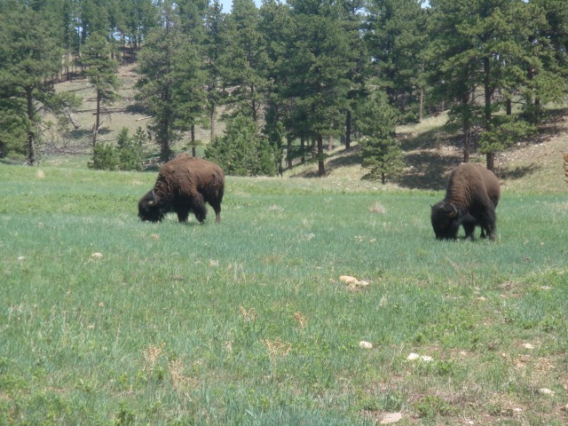 Random buffalo
