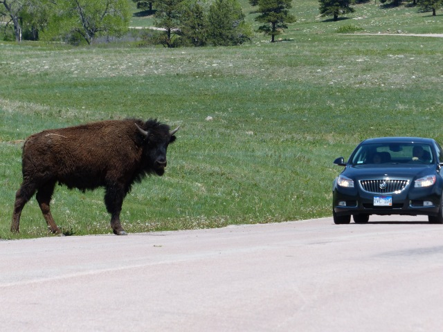 Buffalo interested in a car...yes, they are that big!
